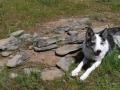 1_ICF-dog-alerting-at-emigrant-grave-Crop